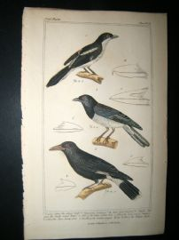 Cuvier C1835 Antique Hand Col Bird Print. Collared Shrike, Dark Eyed Choucori, Yellow Butcher Bird,